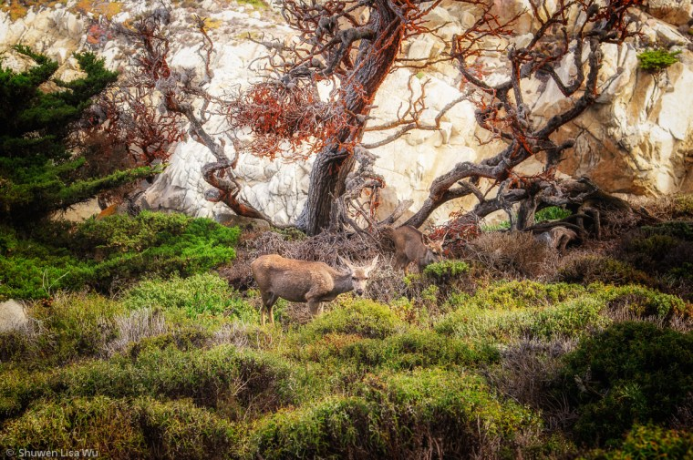 Photo of deer at Point Lobos State Preserve