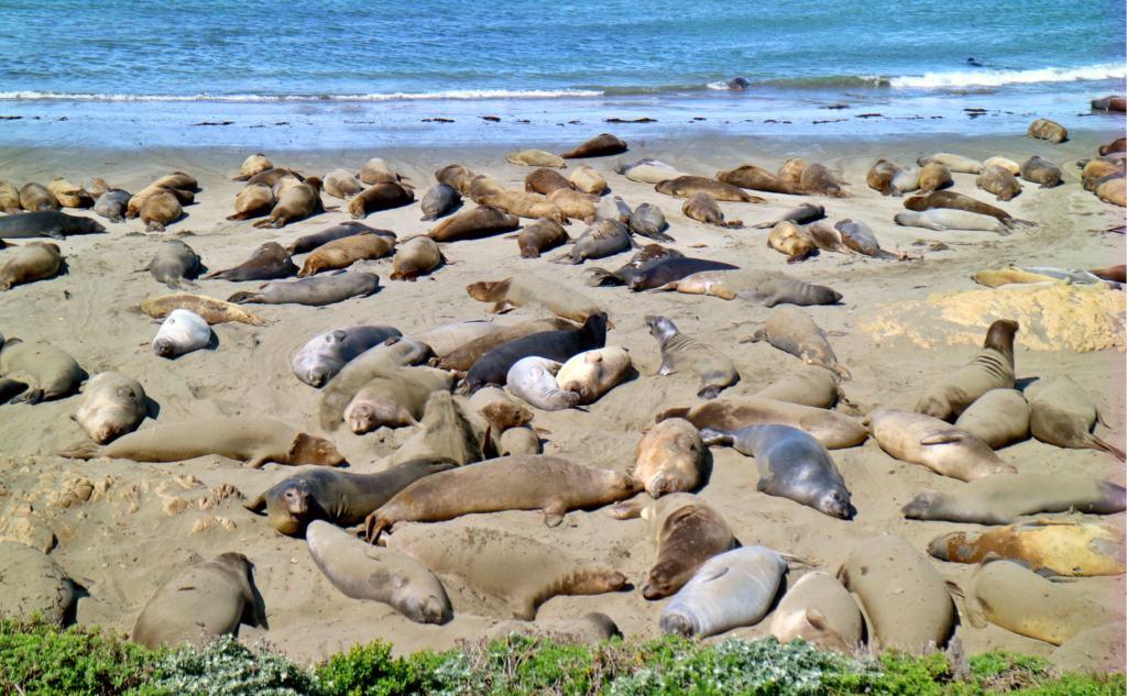 elephant seals on a beach at San Simeon near the big sur
