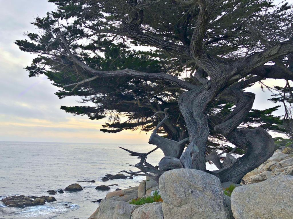 tree overlooking the sea on the 17-mile drive