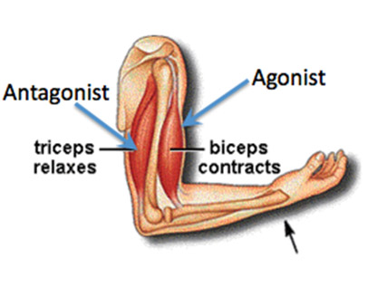 antagonist muscle groups