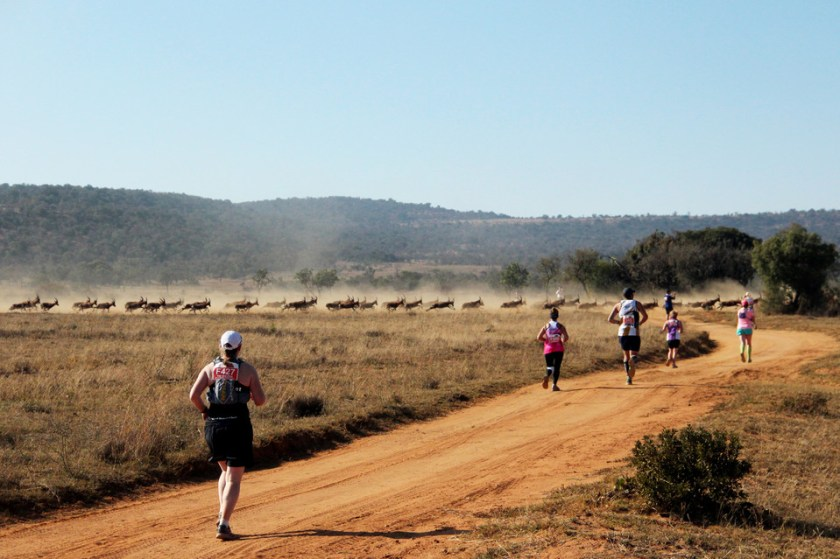 Runners encountered herds of blesbok antelope at the Big Five Marathon, in June at the Entabeni Safari Conservancy.