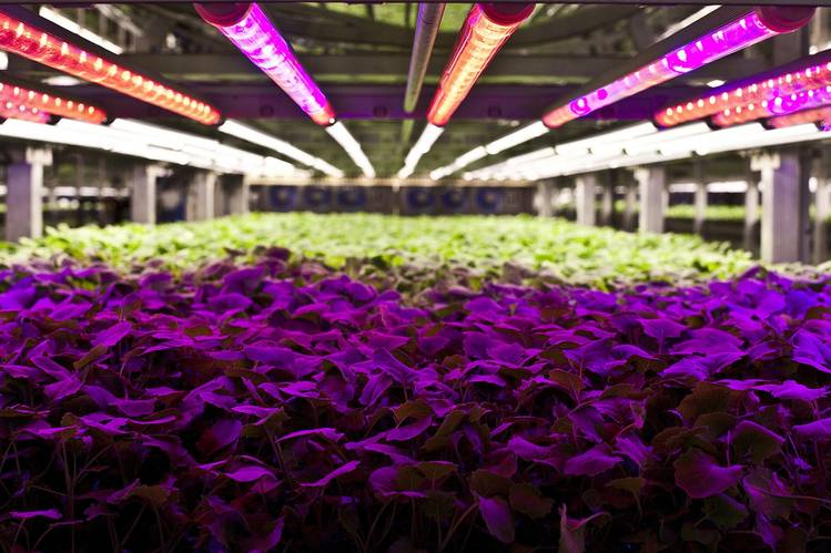 Plants at AeroFarms receive light of a specific spectrum.