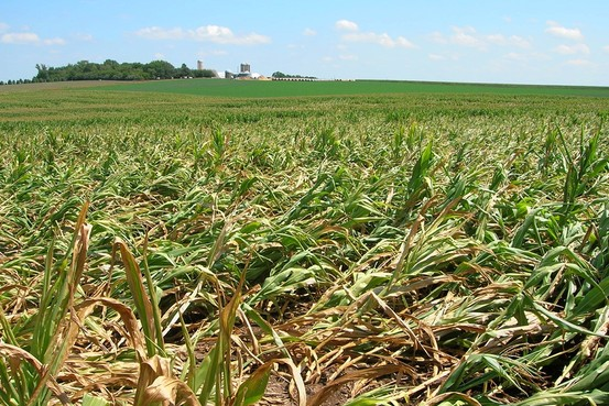 GMO Corn Damaged By Roundworms