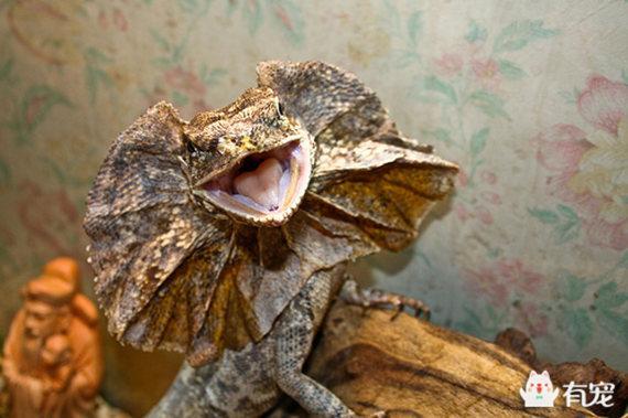 自帶神奇之傘的爬寵界新秀——傘蜥 - 每日頭條