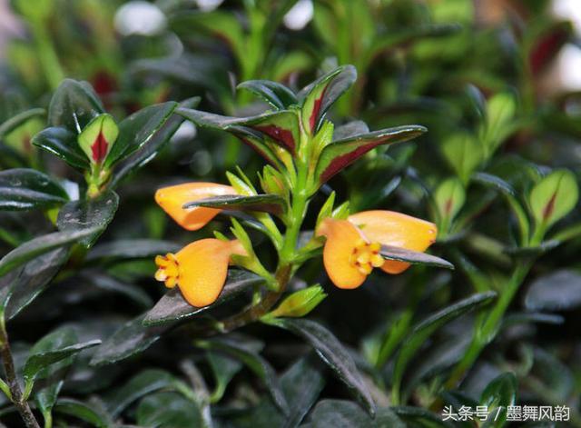 金魚吊蘭的種植技巧,一定要知道 - 每日頭條