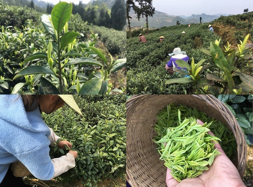 Grüner Tee aus Anji county, Provinz Zhejiang, China