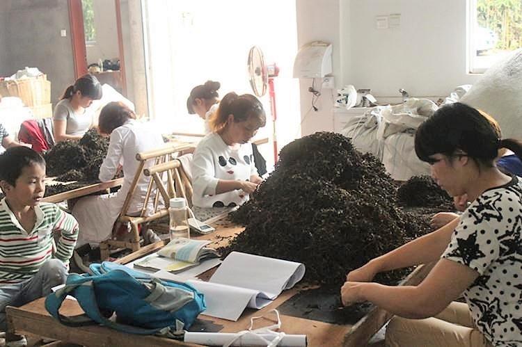 Steintee-Verarbeitung in der Teefabrik von Fam. Chen, Zhengyan, Wuyishan