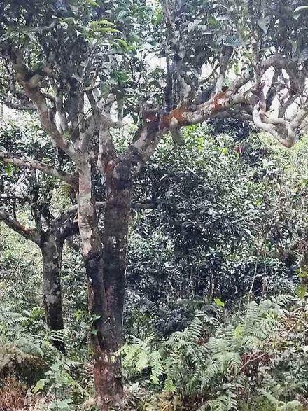 Biovers und organisch - Tee von Vietnams alten Shan Thuyet (Snow High Mountain) Teebäumen