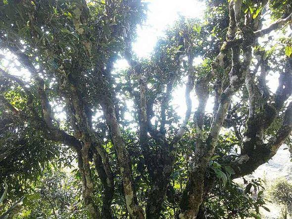 """Alter """"Snow Shan"""" Teebaum in der Provinz Ha Giang, Vietnam"""