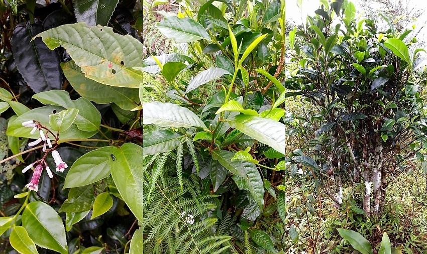 Bolaven Silver Cloud Weißer Tee - Kultivation in semi-wilder biodiverser Umgebung