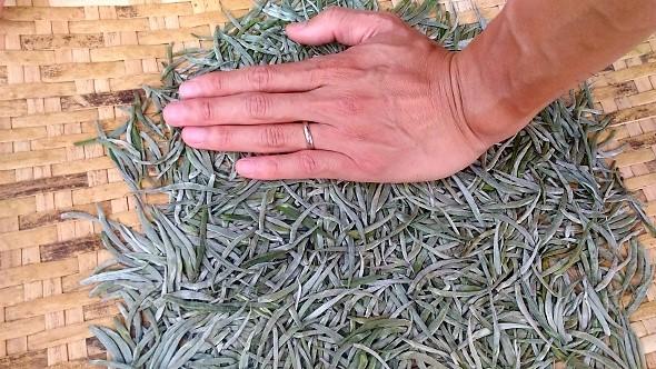 Xiengkhouang Golden Flame - Schwarzer Tee aus Laos: Teegarten : Pflückstandard Reine Knospen