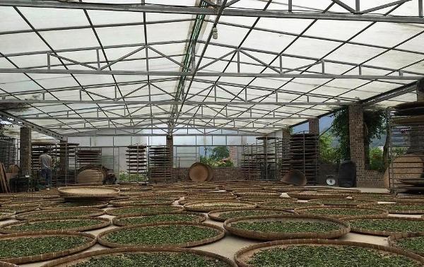 Frisch gepflückte Teebötter welken in der Verarbeitungshalle