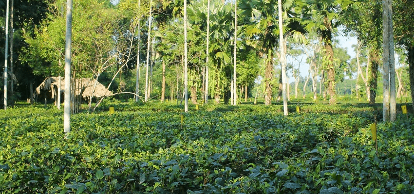 Latumoni tea garden, Assam, India - close-to-nature cultivation, handpicking, traditional processing