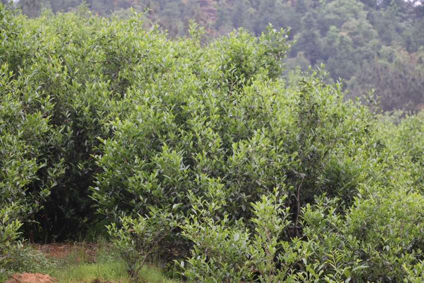 Tie Luo Han tea bushes in the Chen family's tea garden near Da Shui Keng village, Wuyishan