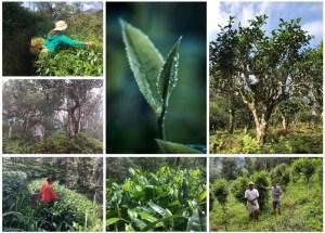 Biodiversi-TEA : Tee aus naturnaher Kultivierung