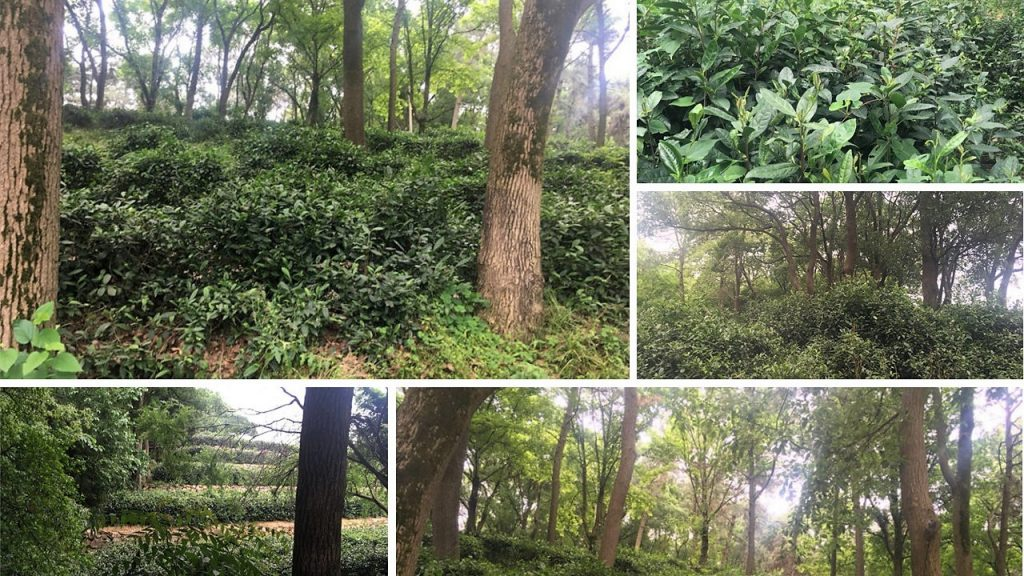 original ancient tea garden on Junshan island