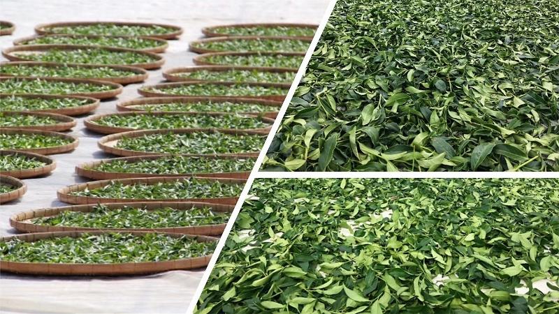 Oolong-Tee-Verarbeitung - Welken der Teeblätter