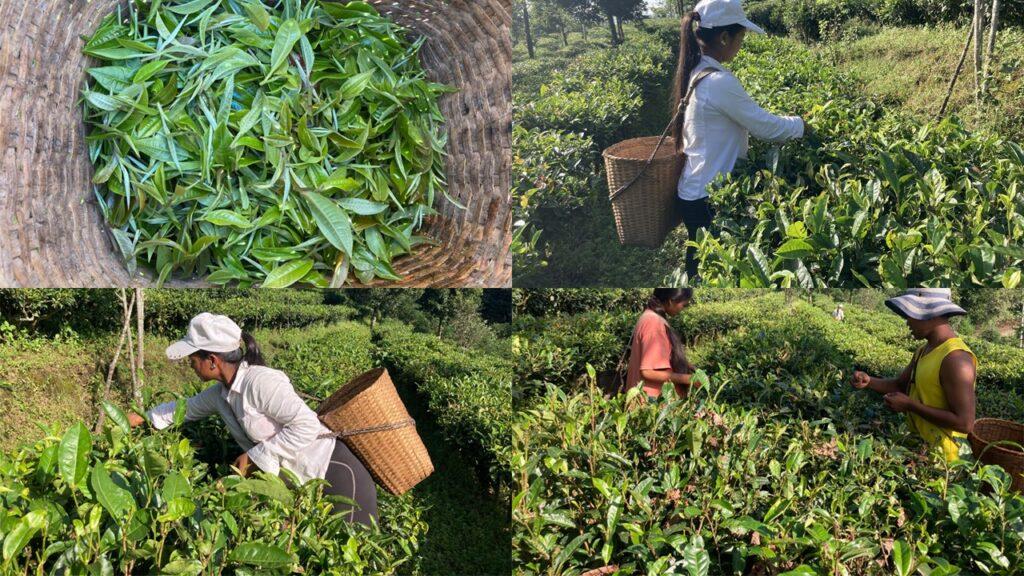 Pu Erh Tea - Picking