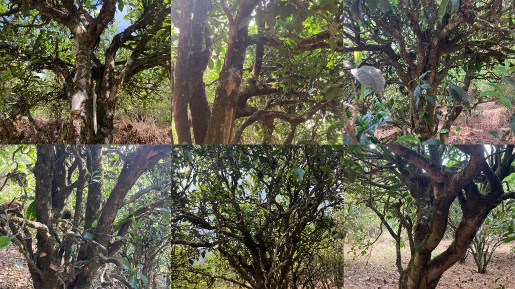 150-400 years-old tea trees in Ming Feng Shan tea garden