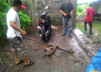 Le python en train d'être capturé