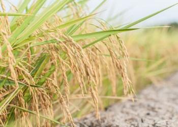 La Chine achète du riz à la Thaïlande pour la 1ère fois depuis 6 mois