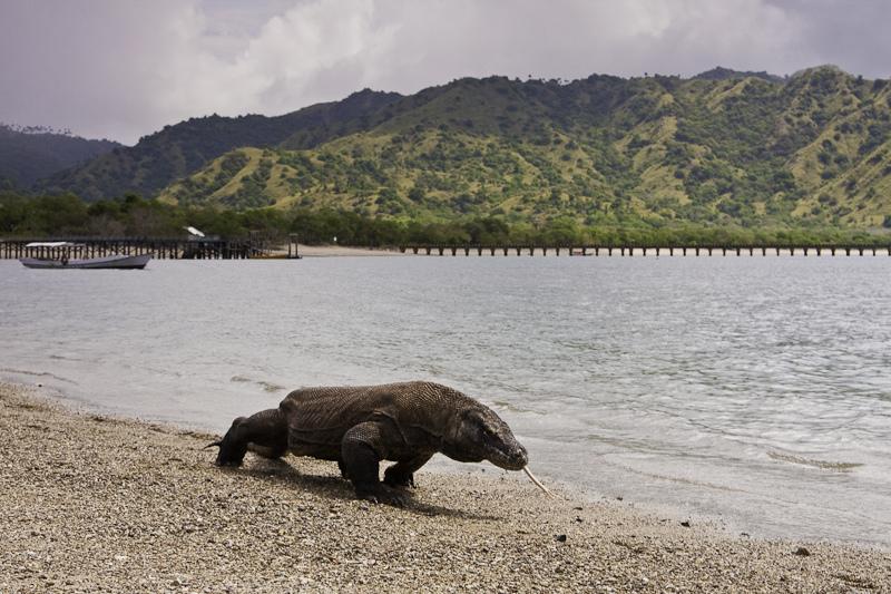 L'Indonésie veut fermer le parc national de Komodo en 2020