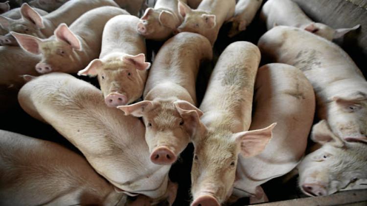 La Thaïlande place 24 provinces sous surveillance pour lutter contre la peste porcine