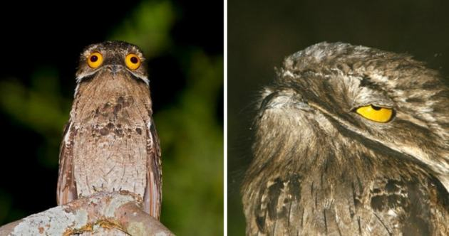 The Potoo Bird     The Perfect Camouflaged Bird  The Master of         you re not likely to see the little buggers very often  The potoo is  nocturnal in nature and an expert at both standing still and hiding