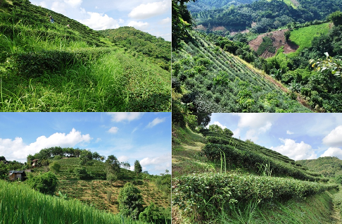 Royal Development Project Doi Tung, Ban Si Phan Rai, Tea Gardens, Collage