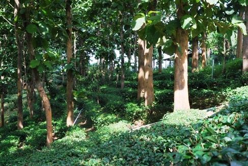 Royal Development Project Doi Tung, Ban Si Phan Rai tea gardens, forest tea garden