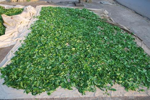 """Bai Yai"" Assamica Tea, Doi Mae Salong, drying leaves"