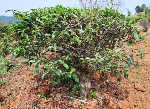 """""""Bai Yai"""" Assamica tea tree, Doi Mae Salong, Thailand"""