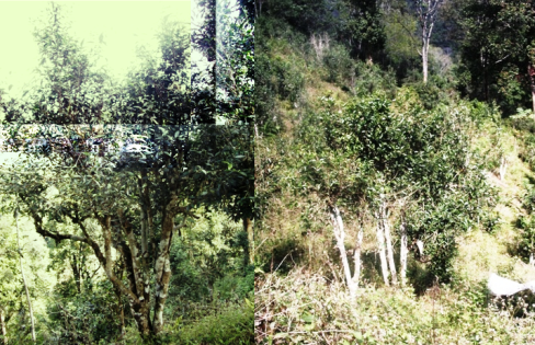 Wild Bai Yai Assamica Tea Tree in Mae Hong Son province, north Thailand
