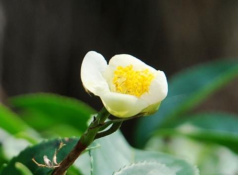 Jin Xuan No. 12, early flower in February 2013, Doi Mae Salong