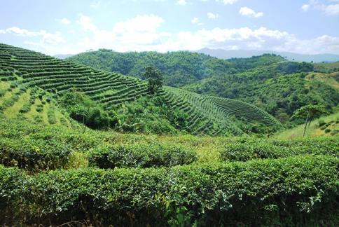 Tea garden in Ban Therd Thai
