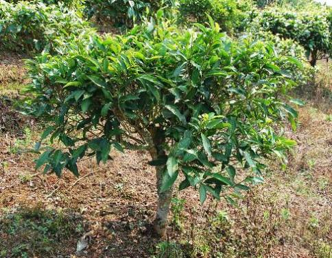 "Camellia Sinensis Assamica"" tea cultivar subvariety native to north Thailand in Doi Mae Salong"