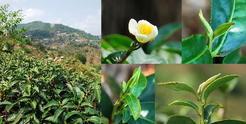 Jin Xuan tea cultivar from Taiwan cultivated in north Thailand