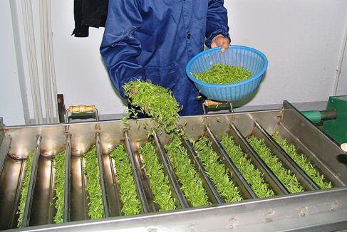 Anji Bai Cha Green Tea - Processing