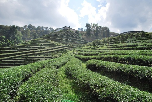 Artfully styled tea garden at Doi Mae Salong