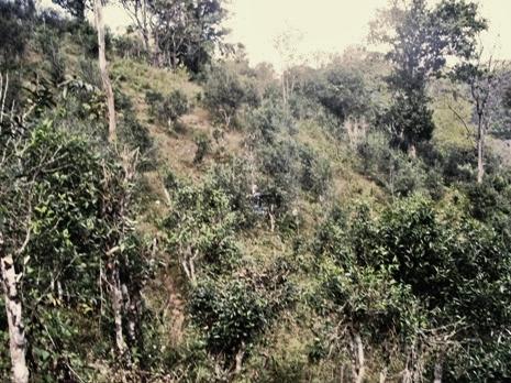 BaiYai_Assamica_MHS_wildteatrees_2