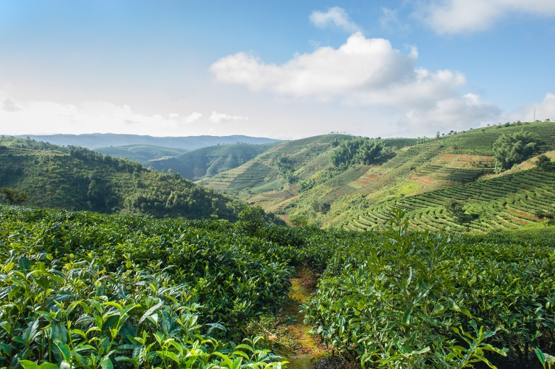 Tea plantations in Xishuangbanna, Yunnan, China