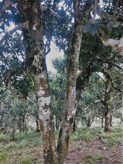 Cultivated ancient tea tree in Ha Giang, Vietnam