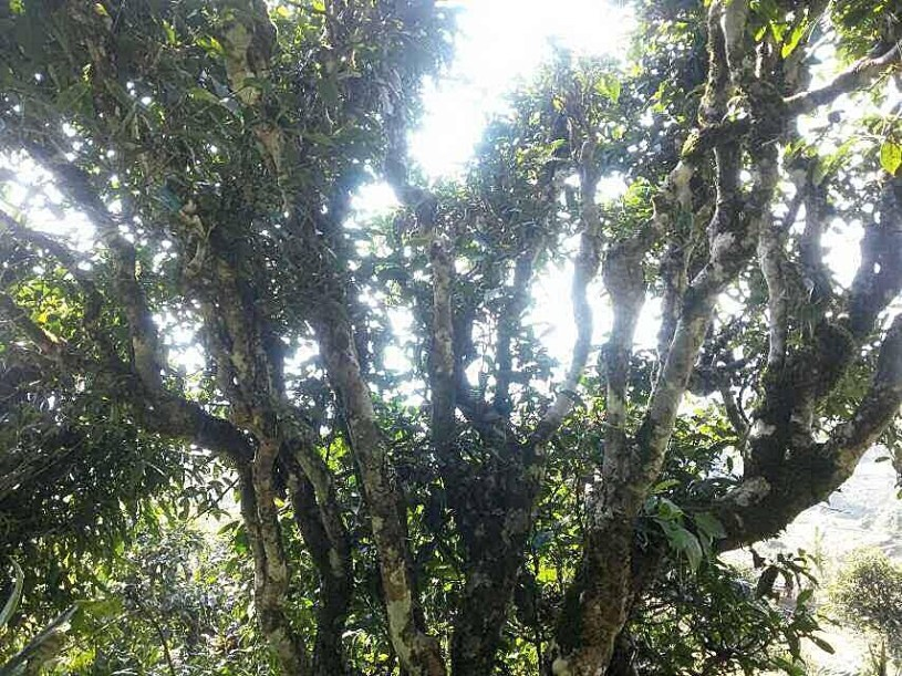 Huge ancient tea tree in Ha Giang province, Vietnam