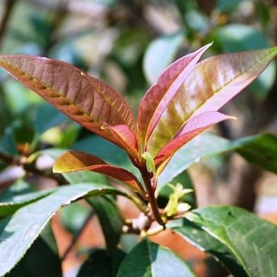 Taiwan Shin Chin cultivar, growing in north Thailand