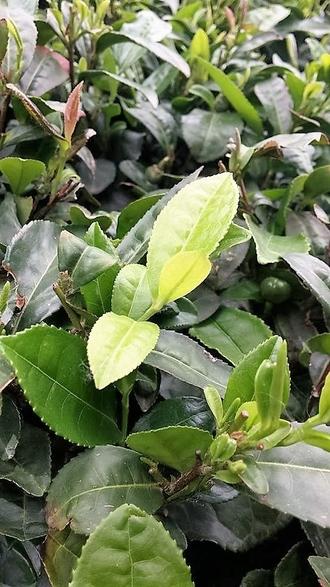 Yun Wu tea cultivar, Henan, China