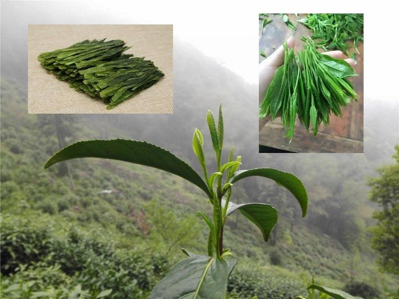 Taiping Houkui tea plant variety, Huangshan, Anhui