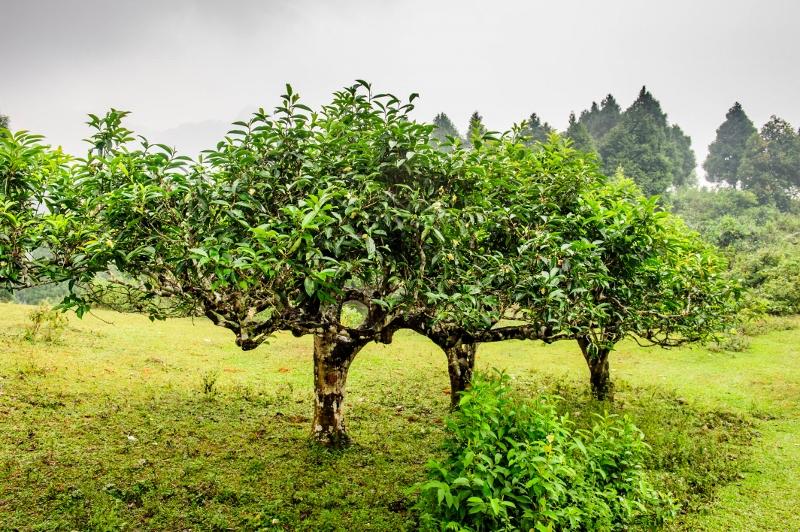 Tuyet Shan tea tree variety, Ha Giang, Vietnam
