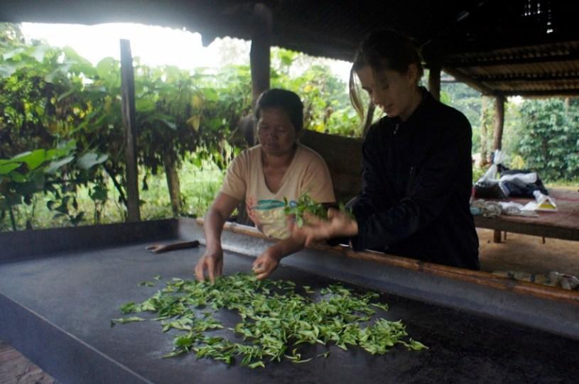 Kinnari tea production at Bolaven Plateau, Laos