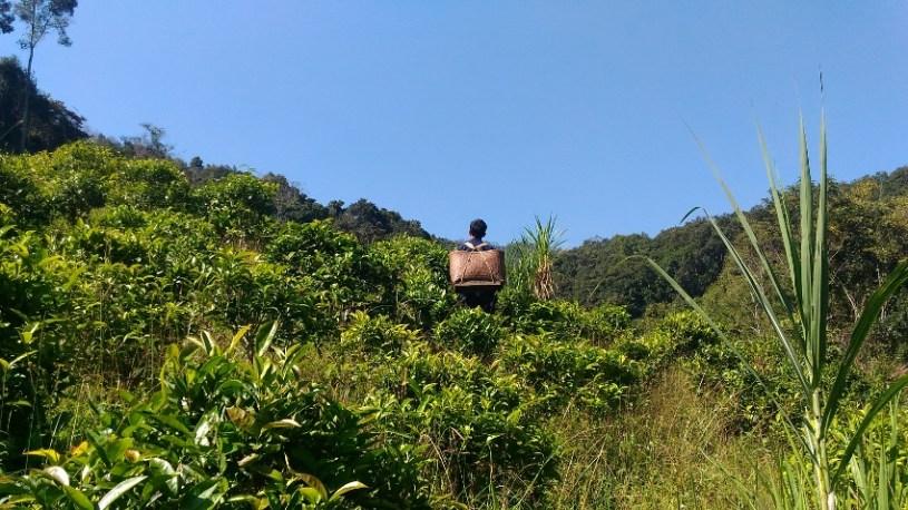Kinnari tea garden in Xiengkhouang, Laos
