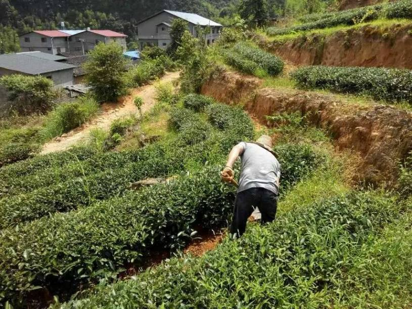 Yancha tea garden in Wuyishan